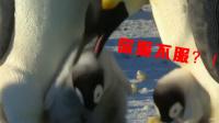 小企鹅被邻居欺负了 护崽的妈妈直接怼了回去