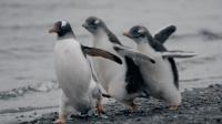 企鹅家族与贼鸥不得不说的那些事 28