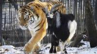 难以置信俄罗斯动物园正在上演老虎山羊恩爱同居秀