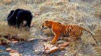 东北虎偷袭正在觅食的大黑熊, 后果非常严重