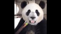 跟着熊猫宝宝吃竹子的节奏随随便便就可以看个几十遍 超有魔性