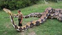 世界发现的巨型蟒蛇排行榜, 最大的一条比汽车还大