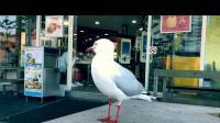 胆大妄为的澳洲小鸟