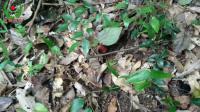 纯天然野生红菇