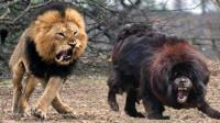 国产藏獒大战非洲雄狮,疯狂的动物大战