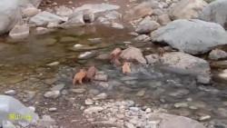 钓鱼时发现一窝小野猪过河,我都不敢靠近,生怕它妈妈在旁边潜伏着!