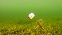 """海下实拍用电动假鱼钓鱼,大鱼犹豫了半天终于""""下嘴""""了"""