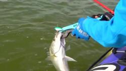 野外钓鱼,围河海鲈泛滥,随便一抛就咬钩