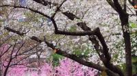 樱花雨纷纷飘落,醉了宁波醉了我(宁波海曙公园罕见的樱花雨)1080P全高清