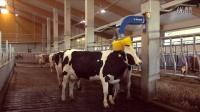 延长奶牛寿命的基础:奶牛舒适度