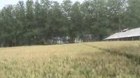 邳州市开发区麦田中的鸡棚群