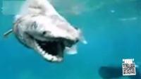 第19期 深海幽灵皱鳃鲨 神秘的清道夫