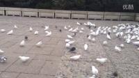 南京雨花台鸽子群