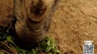 第40期 4吨重大独角犀 竟然咬死同类