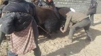 米林县 扎绕乡 多卡村  抓牦牛比赛