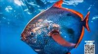 第68期 巨型怪鱼必将统治海洋