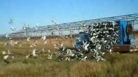 长春盛世农安赛鸽俱乐部150公里比赛开笼