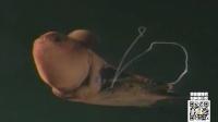 第80期 深海幽灵 吸血鬼化身