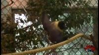 第86期 吓尿!世上竟有比人大的蝙蝠