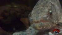 第91期 巨型怪鱼攻击致男子缝100针