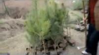 麟游县国家税务局志愿服务小队参加义务植树活动