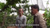 樱桃流胶病效果展示及防治方案(陕西渭南市大荔县)
