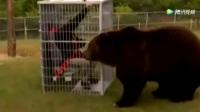 外国小伙把自己关进笼子戏耍棕熊,这下玩大了
