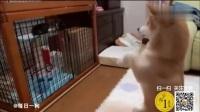 柴犬第一次見到小奶貓就向小喵拜拜 以后長大了你可別欺負我啊!