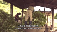 【Co-Impact Sourcing】尼泊尔冬青 - Nepal wintergreen -CN+