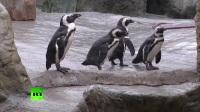 布里斯托尔动物园向第比利斯赠送19只非洲企鹅