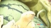 4个熊孩子无聊闯进瓜棚 破坏农户9000斤西瓜