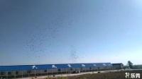 吉林大成公棚6月23日赛鸽自由飞翔