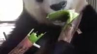 看这个大熊猫吃竹子我能看一天