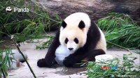 这天连熊猫也热的不淡定了 誓要与冰块天长地久共白头