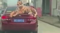 车后备厢上竟然趴着一只猛虎