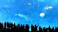 实拍金枪鱼受闪光灯惊吓 飞速游动碰撞玻璃墙身亡