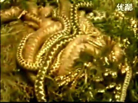 蝰蛇的秘密